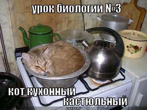 кот кухонный