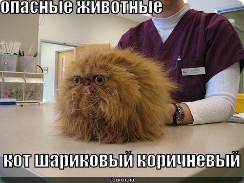 кот шариковый