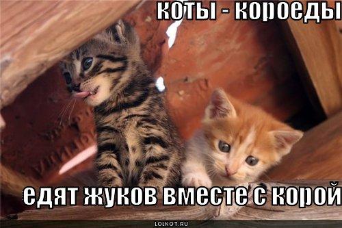коты-короеды