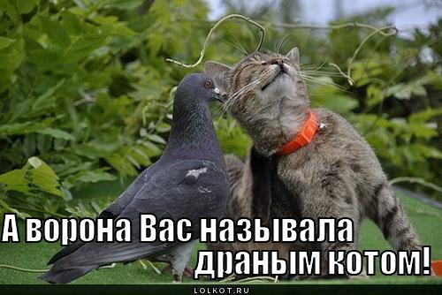 драный кот