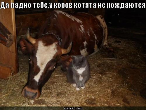 у коров котята не рождаются!