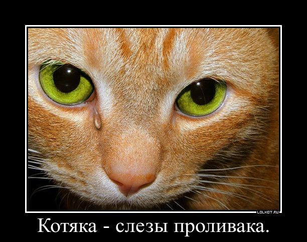 котяка - слезы проливака