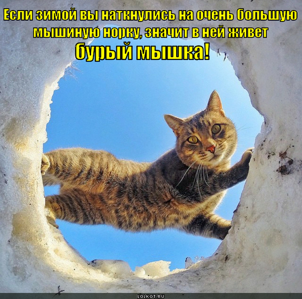 Не будите бурого мышку